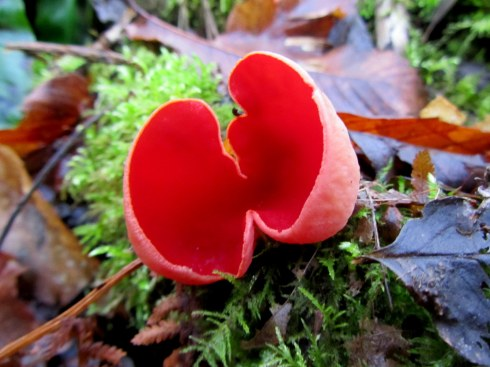 Scarlet Elf Cup taken in Snowdrop Valley, on Exmoor, Somerset