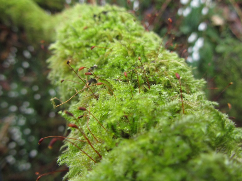 Moss at Snowdrop Valley