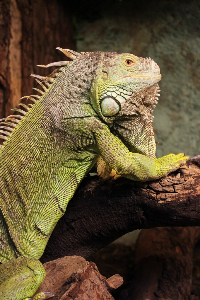 Iguana at Tropiquaria, Somerset