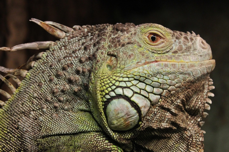 Iguana at Tropiquaria, Somerset