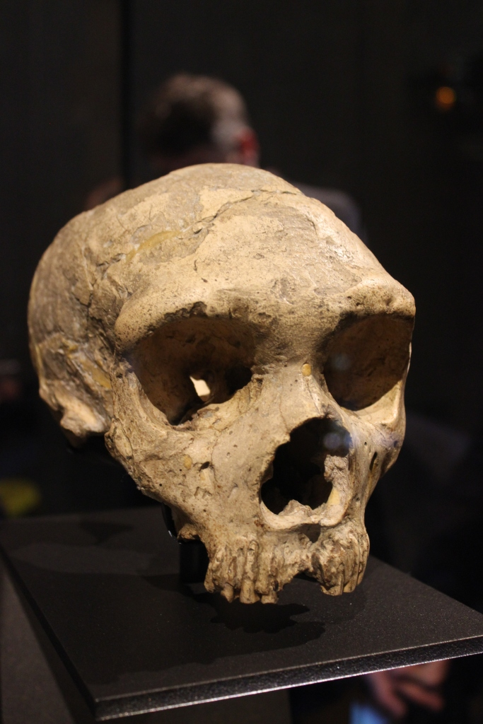 The first adult Neanderthal skull ever discovered