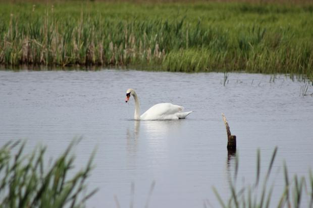 Mute swan at RSPB Greylake, Somerset