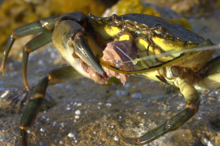 IMG_1507_crab_1