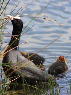 Coot and chicks, Richmond Park, London