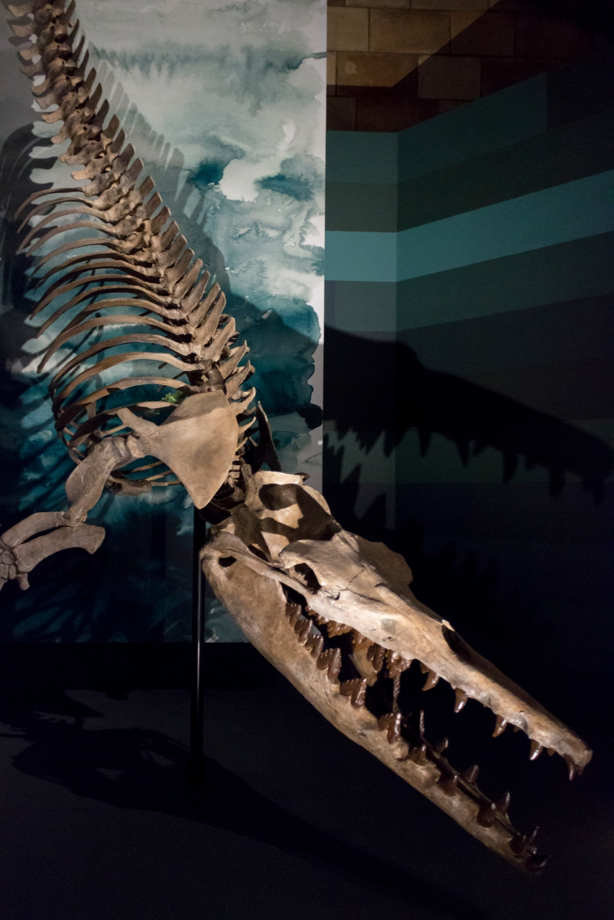 Dorudon skeleton, 40 million year old ancestor of the whale, Natural History Museum