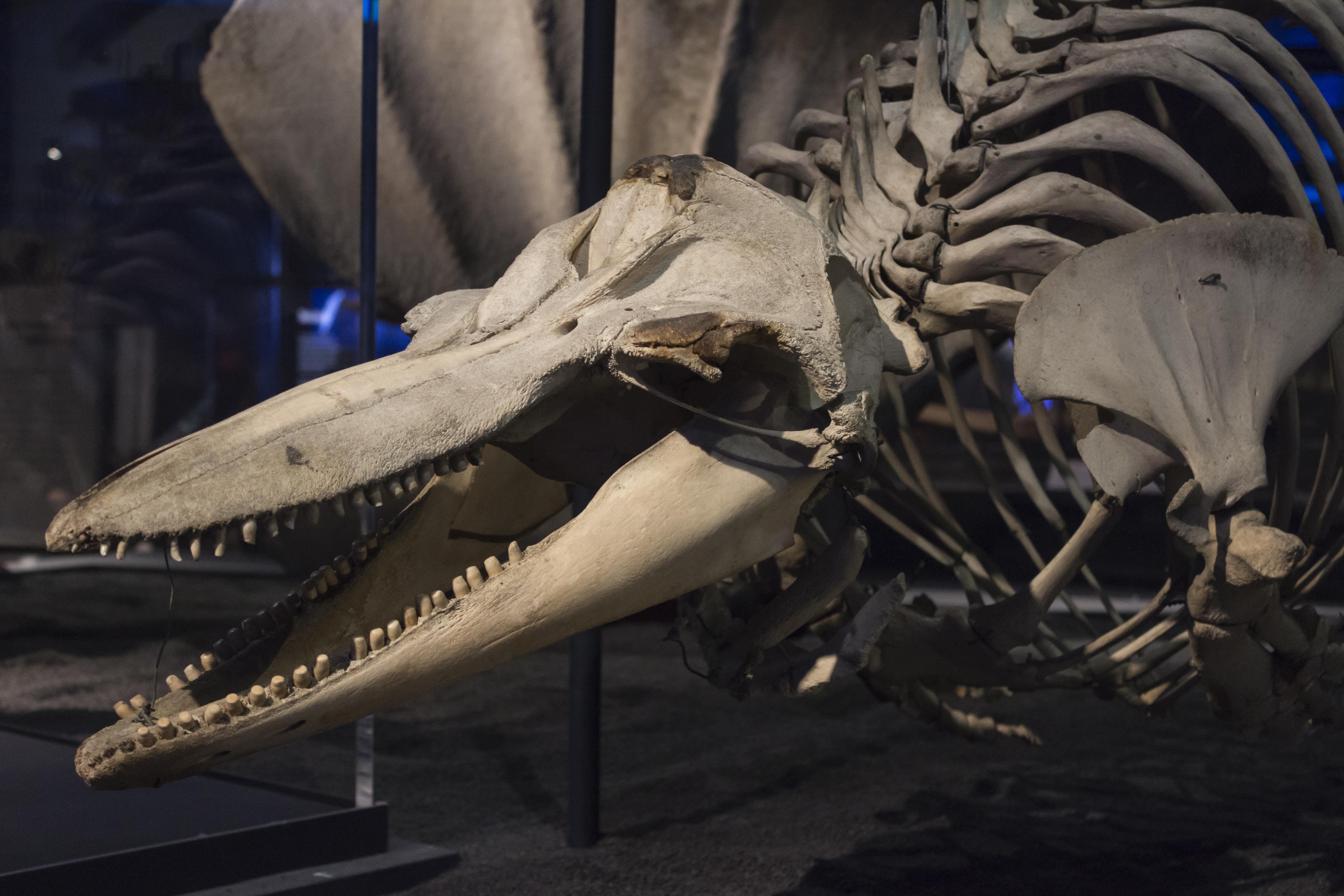 Bottlenose dolphin skeleton, Natural History Museum
