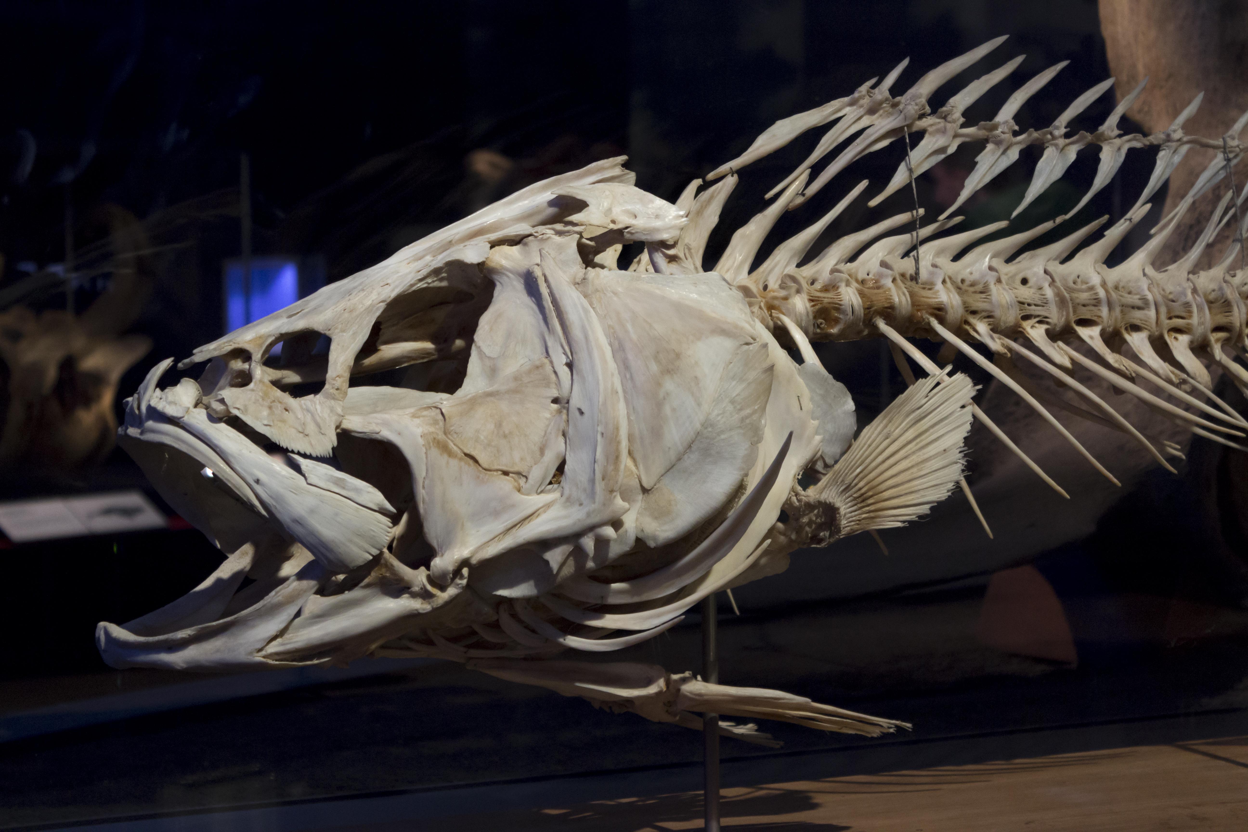Fish skeleton, Natural History Museum