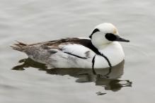 Male smew duck