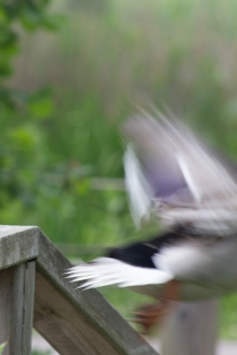 Rouen ducks taking flight