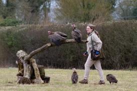 The hooded vulture (Necrosyrtes monachus), Hawk Conservancy Trust