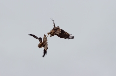 The black kite (Milvus migrans), Hawk Conservancy Trust