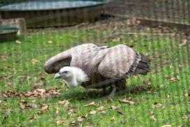 The griffon vulture (Gyps fulvus), Hawk Conservancy Trust