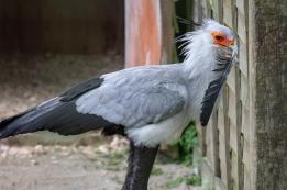 The secretarybird or secretary bird (Sagittarius serpentarius), Hawk Conservancy Trust