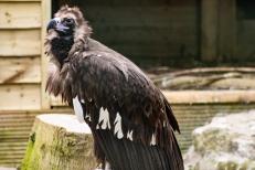 The Cinereous Vulture (Aegypius monachus), Hawk Conservancy Trust