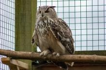 The long-eared owl (Asio otus), Hawk Conservancy Trust