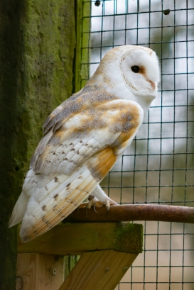 The barn owl (Tyto alba), Hawk Conservancy Trust
