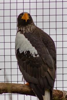 Steller's sea eagle (Haliaeetus pelagicus), Hawk Conservancy Trust