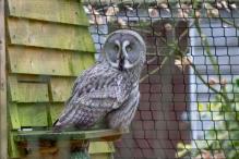 The great grey owl or great gray owl (Strix nebulosa), Hawk Conservancy Trust