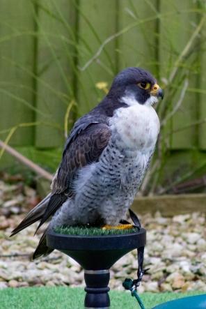 The peregrine falcon (Falco peregrinus), Hawk Conservancy Trust