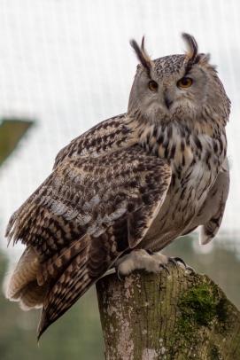 Siberian Eagle Owl, Hawk Conservancy Trust