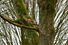 The tawny owl or brown owl (Strix aluco), Hawk Conservancy Trust